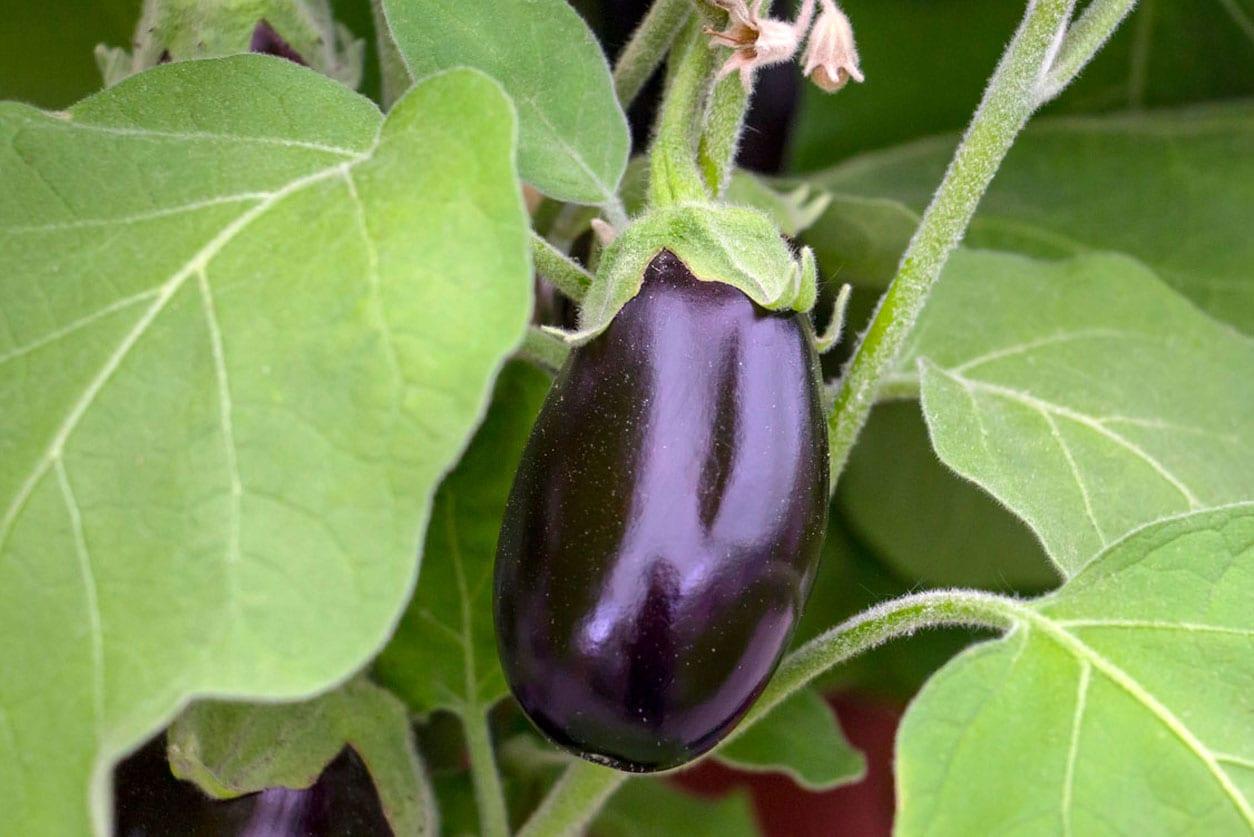 Eggplant-2